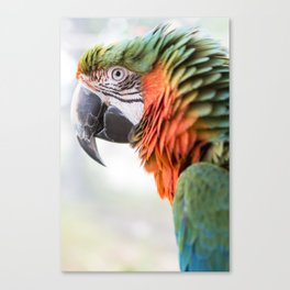 Jose - Harlequin Macaw Canvas Print