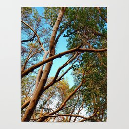 Madrone Poster