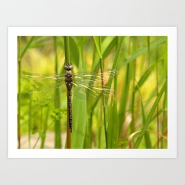 Dragonfly In The Reeds... Art Print