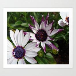 Purple and White Osteospermum Art Print