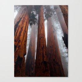 Tall Redwood Trees Canvas Print