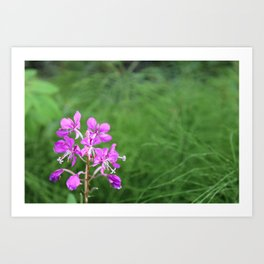 Fireweed Wildflower Art Print