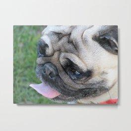 Pug dog face Metal Print