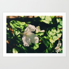 Lily blooming Art Print