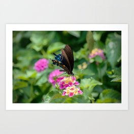 Pipevine Swallowtail. Art Print