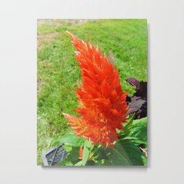 Celosia Flower Metal Print