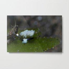 Little sheep nudi (Costasiella usagi) Metal Print