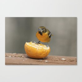 Baltimore Oriole Female on Orange Canvas Print