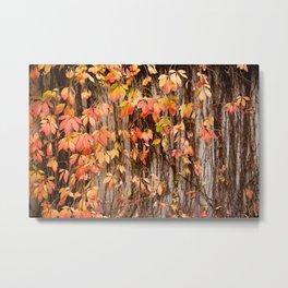 Vitaceae family ivy wall abstract Parthenocissus quinquefolia Metal Print