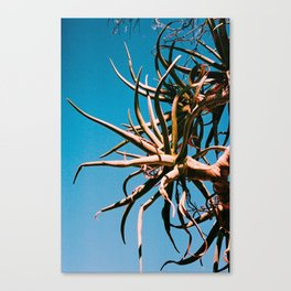 Aloe dichotoma Canvas Print