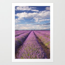 Blooming fields of lavender in the Provence, southern France Art Print