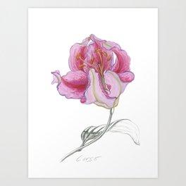 Lily 03 Botanical Flower * Pink Stargazer Rubrum Lily  Art Print