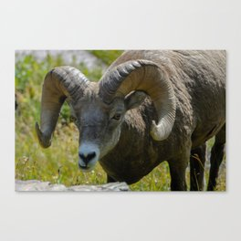 Bighorn Sheep Close-up Canvas Print