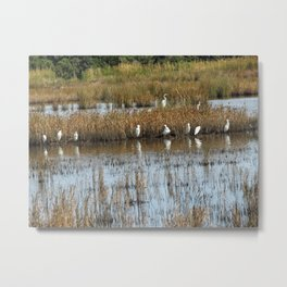 White Egrets Resting and Grooming Metal Print