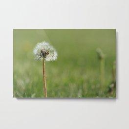 Dandelion Flower Seeds Metal Print