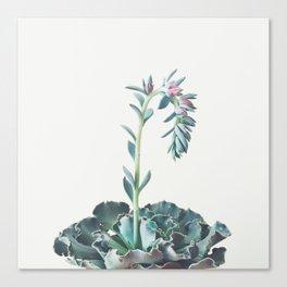 Flowering Succulent II Canvas Print