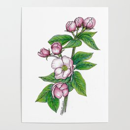 Apple Blossoms, floral art, flower drawing, pink spring flowers on white background Poster