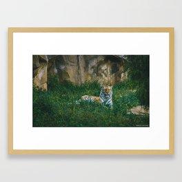 Tiger in the Grass Framed Art Print