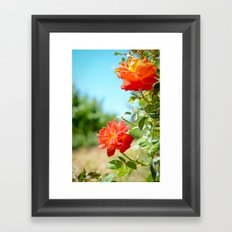 Roses in Santa Ynez California Vineyard Framed Art Print