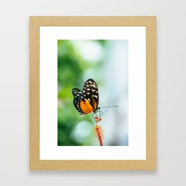 Isabella's Longwing butterfly Framed Art Print