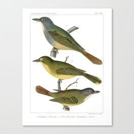Antique color print three birds Wall Art Canvas Print