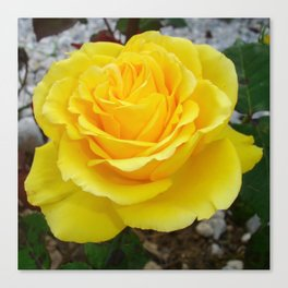 Golden Yellow Rose with Garden Background Canvas Print