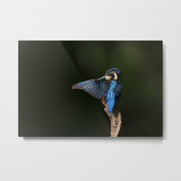 Preening Kingfisher Metal Print