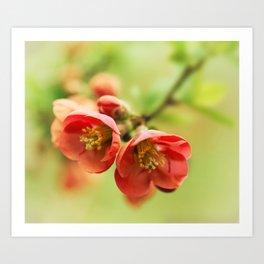 Chaenomeles flowers Art Print