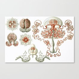 Vintage Anthomedusae (Jellyfish) Print by Ernst Haeckel, 1904 Educational Chart Canvas Print