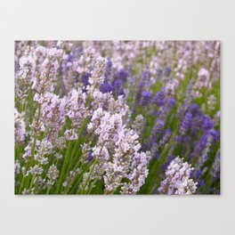 English Lavender Canvas Print