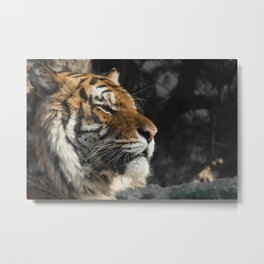 Portrait of a Siberian Tiger Metal Print
