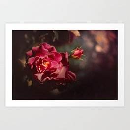 Morning rose Art Print
