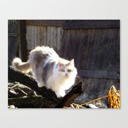 The Beautiful Maine Coon Dilute Calico Canvas Print