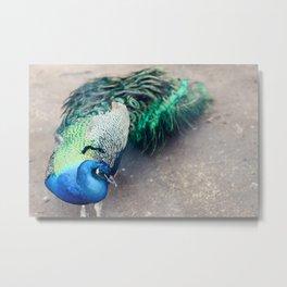 Southern Peacock Metal Print