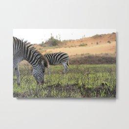 Zebra Swap Metal Print