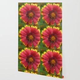 Red and Yellow Sunburst Flower Wallpaper