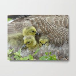 goslings II Metal Print