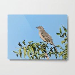 Northern Mockingbird Looks South Metal Print