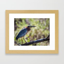 Colorful Green Heron Perched Framed Art Print