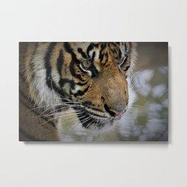 Determined Tiger Metal Print