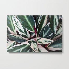 Stromanthe Triostar  |  The Houseplant Collection Metal Print