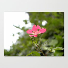 Little Pink Blossom  Canvas Print