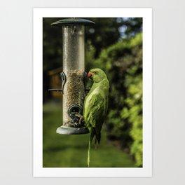 Urban Parakeet  Art Print