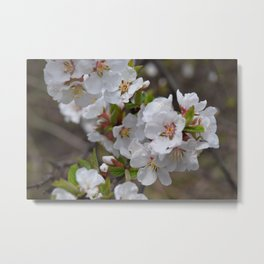 White Spring Blossoms Metal Print