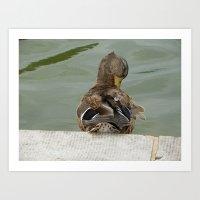 Preening Duck  Art Print