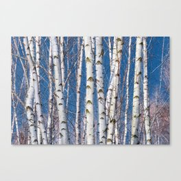 Birches 26 Canvas Print