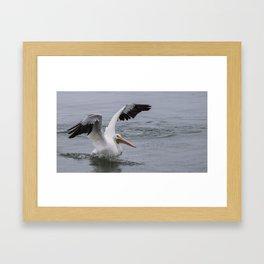 American White Pelican Framed Art Print