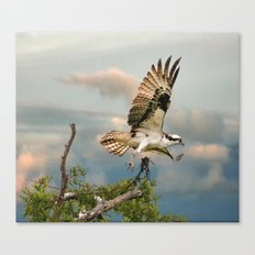 Osprey with nesting material Canvas Print