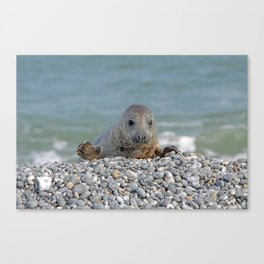 Gray seal - Kegelrobbe Canvas Print