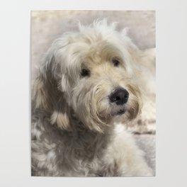 Dog Goldendoodle Golden Doodle Poster